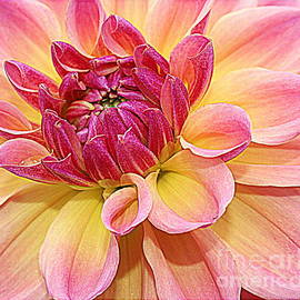 Photographic Art and Design by Dora Sofia Caputo - Late Spring Beauty - Dahlia