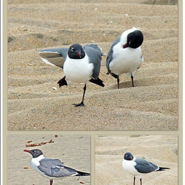 Mother Nature - Laughing Gulls - Leucophaeus atricilla