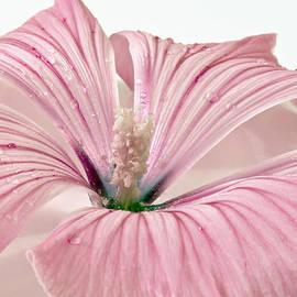 Sandra Foster - Lavatera Blossom With Rain Drops