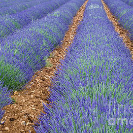 Arterra Picture Library - Lavendel 2