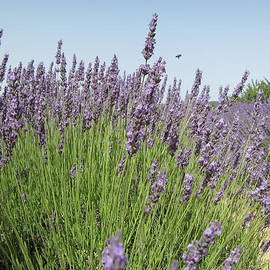 Pema Hou - Lavender and the Bee