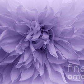 Photographic Art and Design by Dora Sofia Caputo - Lavender Beauty - Dahlia