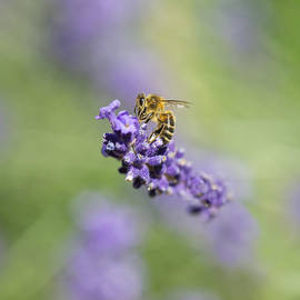 Steven Poulton - Lavender Buzz