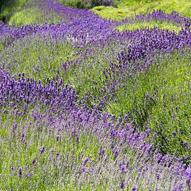 Kathy Bassett - Lavender Day