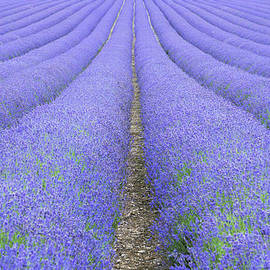 Adrian Campfield - Lavender Fields