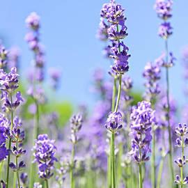 Elena Elisseeva - Lavender flowering