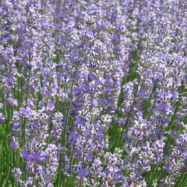 Pema Hou - Lavender Hues
