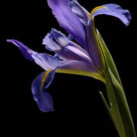 Jeetindra Harripershad - Lavender Iris