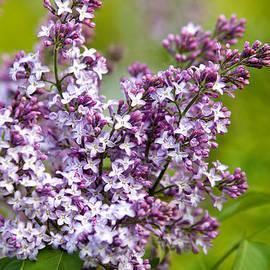 Christina Rollo - Lavender Lilacs