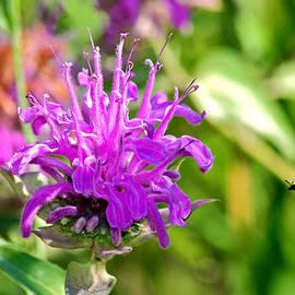 Karon Melillo DeVega - Lavender Pink Bee Balm Wild Bergamot