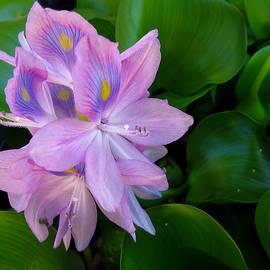 Shawna  Rowe - Lavender Water Hyacinth