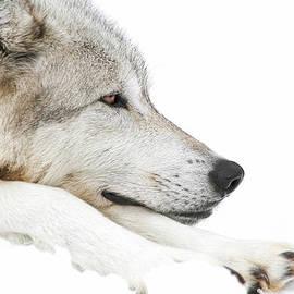 Athena Mckinzie - Lazy Winter Wolf In Snow