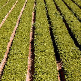 Robert Bales - Leaf Lettuce