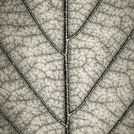 Elena Elisseeva - Leaf texture in sepia