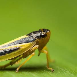 Ivan Yonkov - Leafhopper