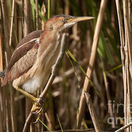 Heron  Images - Least Bittern Pictures 1