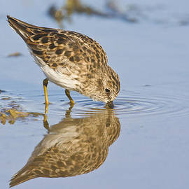 Ruth Jolly - Least Sandpiper with a reflection