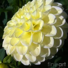 Susan Garren - Lemon Soft Dahlia