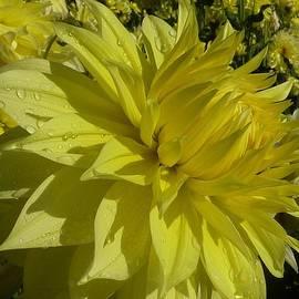 Susan Garren - Lemon Yellow Dahlia