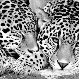 Debbie Nobile - Leopard Cubs
