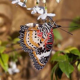 Gerry Gantt - Leopard Lacewing Butterfly DTHU619