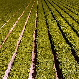 Robert Bales - Lettuce Farming