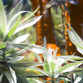 Sharon Mau - Leucadendron argenteum - Silver Tree