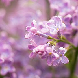 Alexander Senin - Lilac Flowers 1