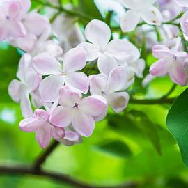 Alexander Senin - Lilac Flowers 2