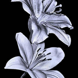 Peter Lessey - Lilies in Black and White