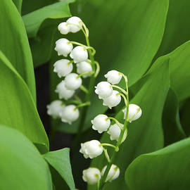 Elena Elisseeva - Lily-of-the-valley