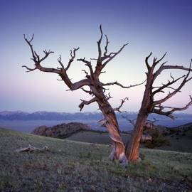 Leland D Howard - Limber Pine