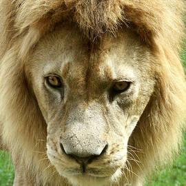Gary Gingrich Galleries - Lion-9478