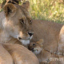 Chris Scroggins - Lion and Cub