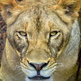 David Millenheft - Lion Closeup