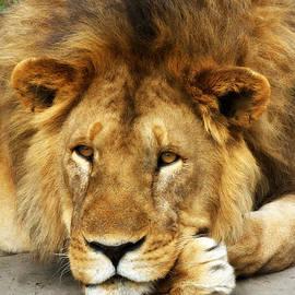 Chris Scroggins - Lion King Emeritus