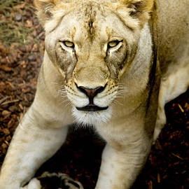 David Millenheft - Lion-Wildlife