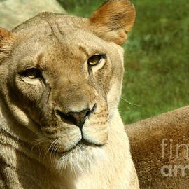 Gary Gingrich Galleries - Lioness-9385