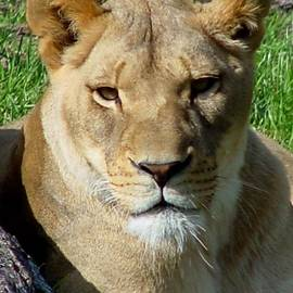 Gary Gingrich Galleries - Lioness