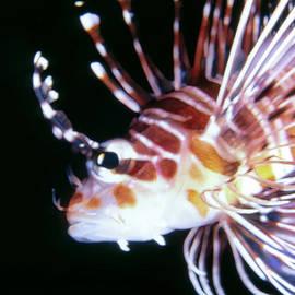 Dawn Eshelman - Lionfish 3