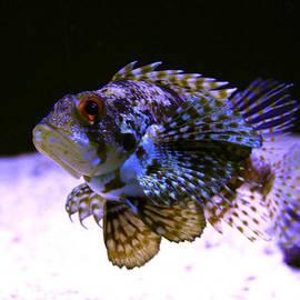 Karon Melillo DeVega - Lionfish Dendriochrius barberi
