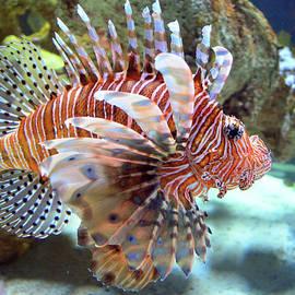 Sandi OReilly - Lionfish