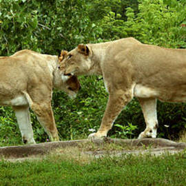 Gary Gingrich Galleries - Lions-9250