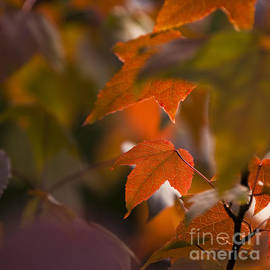 Anne Gilbert - Liquidambar Autumn