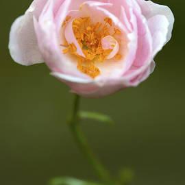 Steven Poulton - Listening Rose