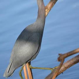 Gustave Kurz - Little Blue Heron