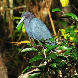Bill Marder - Little Blue Heron Series