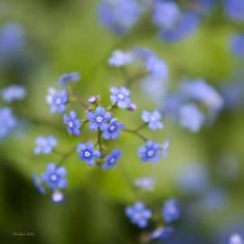 Christina Rollo - Little Blue Jack Frost Flowers Square