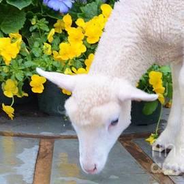 Kathleen Struckle - Little Lamb