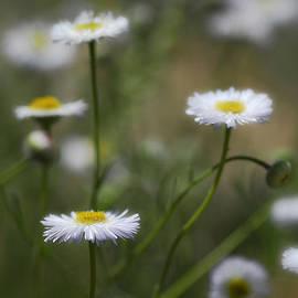 Saija  Lehtonen - Little White Daisies